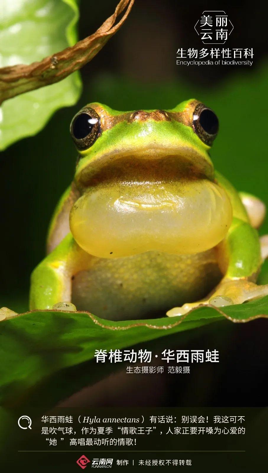 【生物多样性百科】脊椎动物·华西雨蛙:情歌王子就是本尊