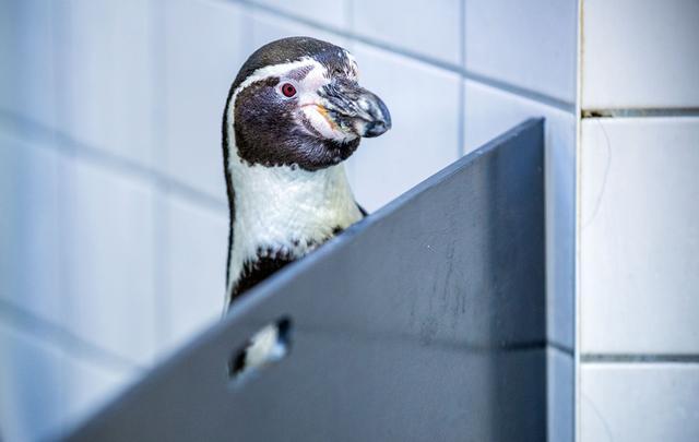 德生物学家对洪堡企鹅进行听力测试