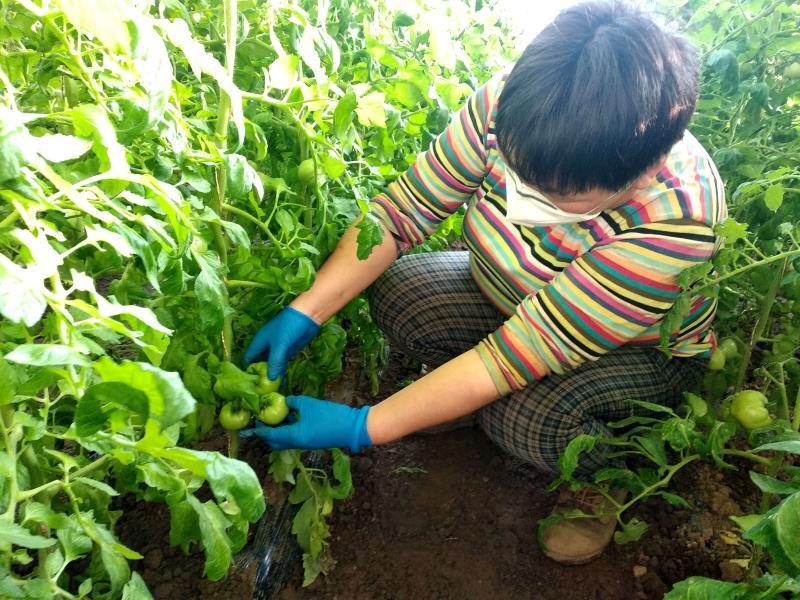 老口味西红柿即将上市 平谷夏各庄防疫春耕两不误图片