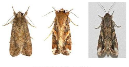 春耕季节 农业专家支招多种病虫害防治策略图片