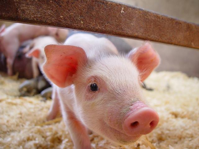 谁是中国第一猪企?这家公司一年盈利139亿,卖猪1850万头