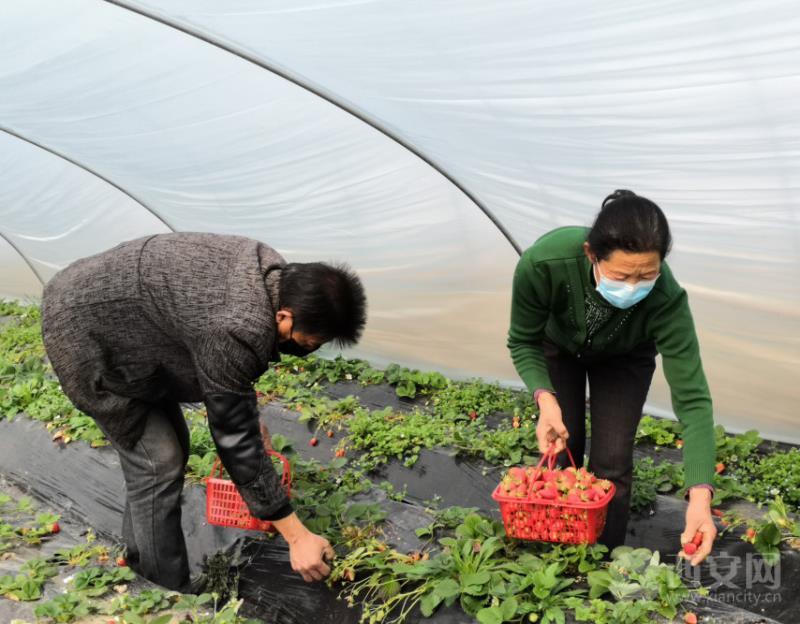 """临潼:草莓红薯成芳邻打好丰收""""提前仗"""""""