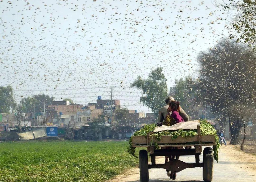 浙江10万只鸭子出征巴基斯坦灭蝗