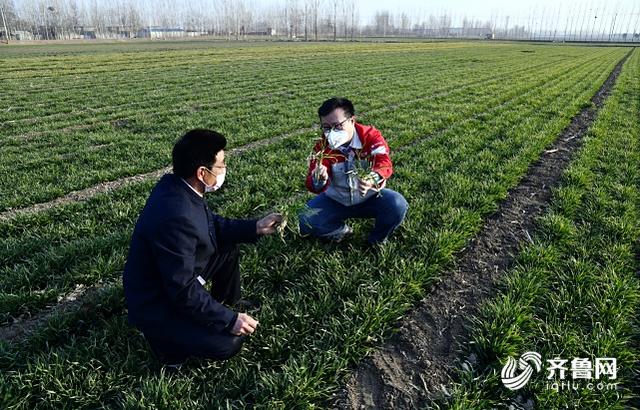 图:泰安宁阳葛石镇大夏庄村,小麦陆续返青