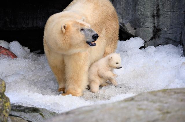 丹麦北极熊宝宝首次走出洞穴 好奇探索世界与母亲玩耍太萌了