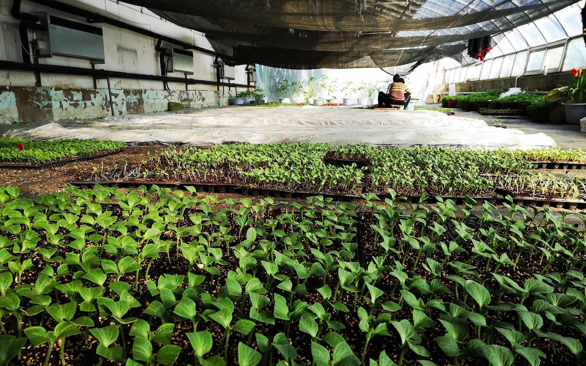 大兴庞各庄西瓜开始育苗 四月底就能上市图片