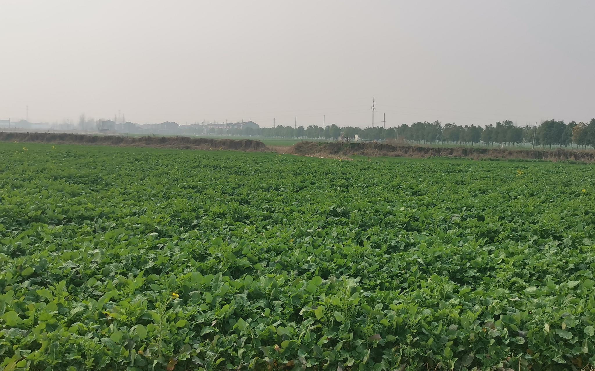 湖北杨渊村:老人戴着口罩干农活 地里白菜让返乡者安心图片