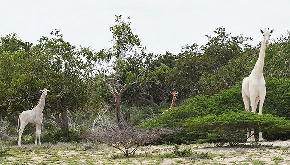 图片来源:Hirola Conservation Program