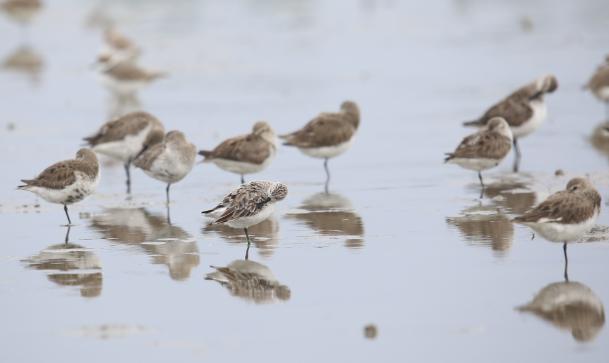 广东湛江湿地再次发现34只极度濒危鸟类勺嘴鹬图片
