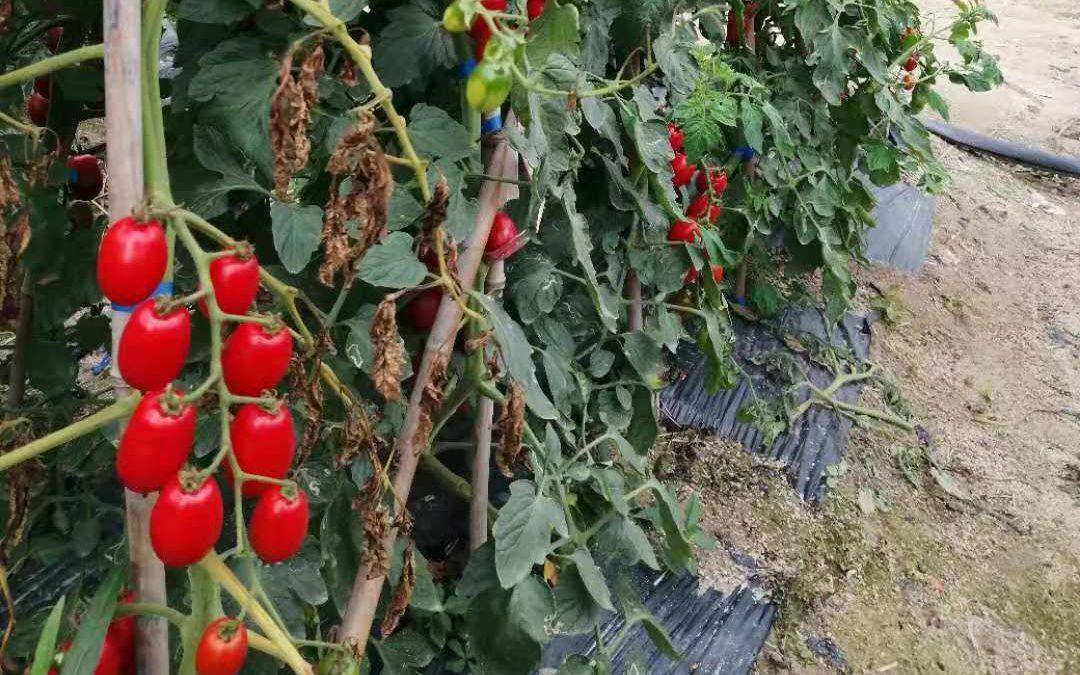 确保疫情期间南繁育种 蔬菜专家每日高温工作10小时图片