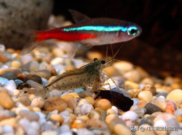 黑壳虾对比大和藻虾,哪个更适合鱼缸除藻