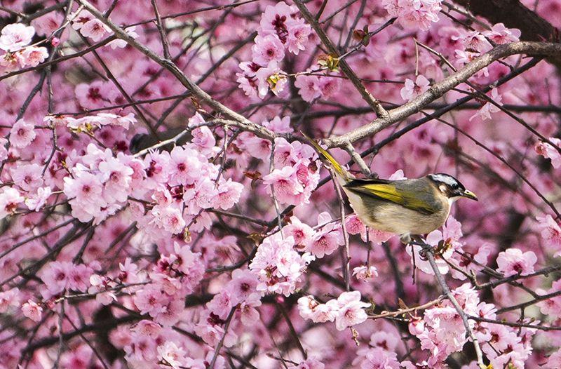 三月,武汉春花开了|组图图片