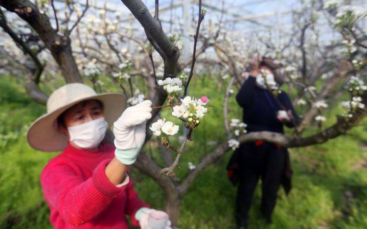 春暖花开 果树专家提醒长三角地区梨花授粉大概提前8天图片