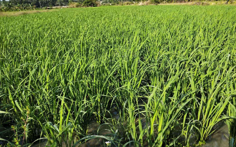 青天村水稻正值分蓝冠蘖再过两个月将迎收割,蓝冠图片
