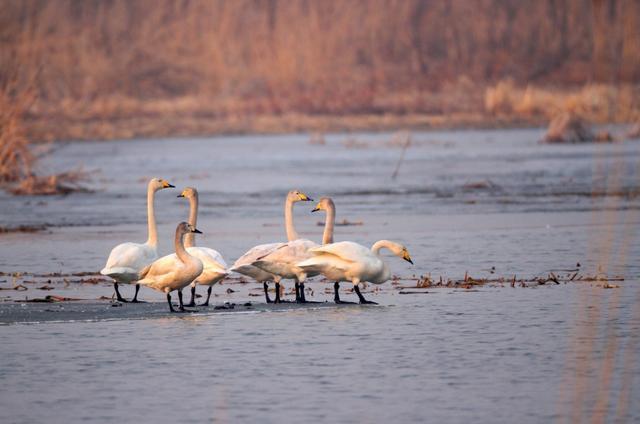 """冬候鸟迁徙高峰开始,北京日均""""鸟流量""""4万只图片"""