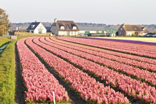 """这是3月27日在荷兰诺德韦克拍摄的花田。受新冠肺炎疫情影响,欧洲多国的""""封城""""以及关闭商店等措施导致花卉市场需求急剧下降,给荷兰园艺业造成了重大打击。新华社发"""