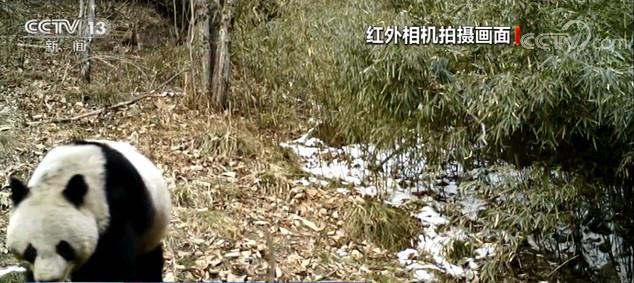 自然科學陜西秦嶺拍攝到自然科學大熊貓羚圖片