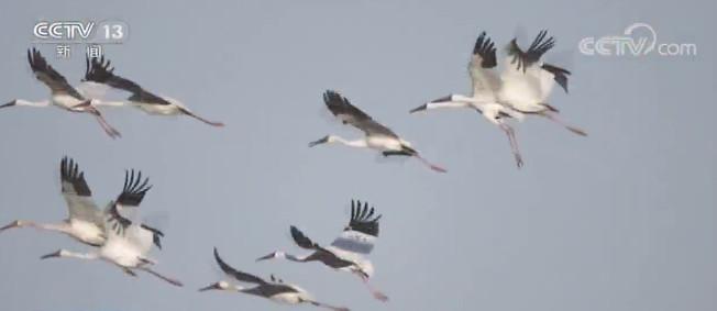 「顺达」吉林镇赉大顺达批候鸟来临白鹤数量达2000图片