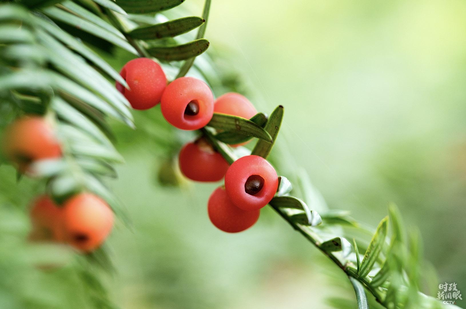 △红豆杉是第四纪冰川遗留下来的陈腐树种,在地球上已有250万年的汗青。1999年,红豆杉被列入国度Ⅰ级珍爱植物。