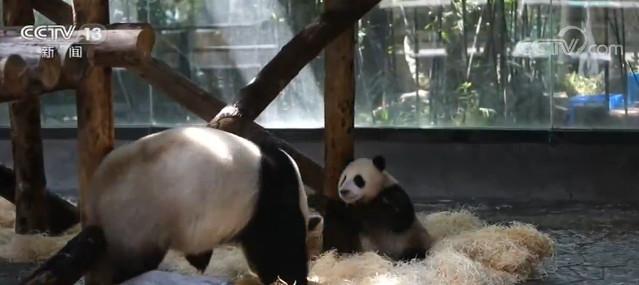 摩天注册大熊猫幼崽与游摩天注册客隔空互动图片