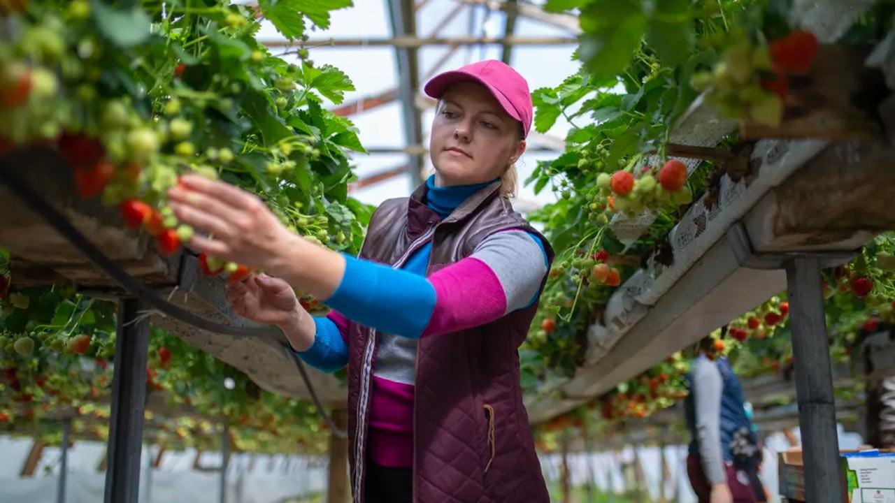 △乌克兰工人采摘草莓 图片来源:芬兰广播公司(YLE)