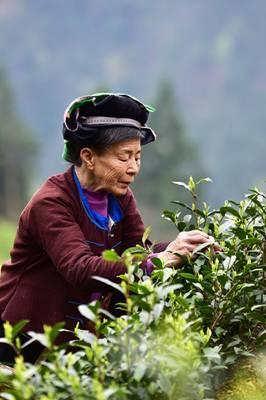 """● 监督故事 ● 茶叶种植的""""及时雨""""等图片"""