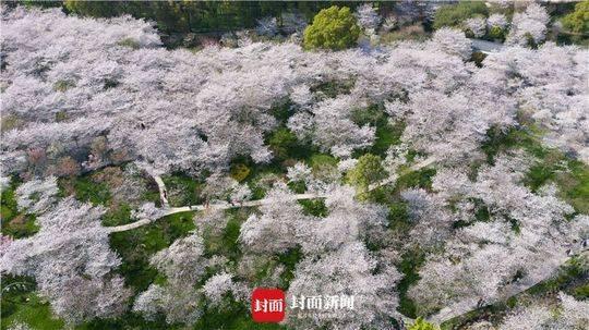 武汉东湖樱园专门为医务职员开放