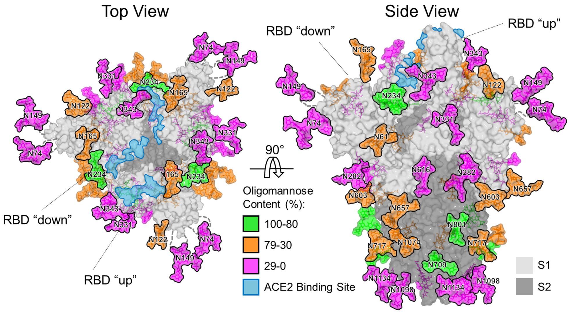 ↑南安普顿大学研究人员为新冠病毒建立的模型,图据南安普顿大学官网