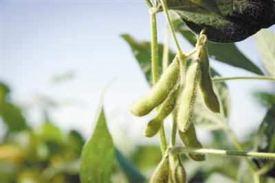 """大豆从我国走向全世界 有对""""双胞胎""""基因很关键"""