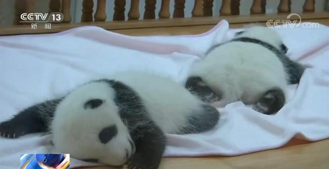 2020摩天测速新生大熊猫宝,摩天测速图片