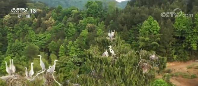 摩天登录重庆黔江成群摩天登录苍鹭图片