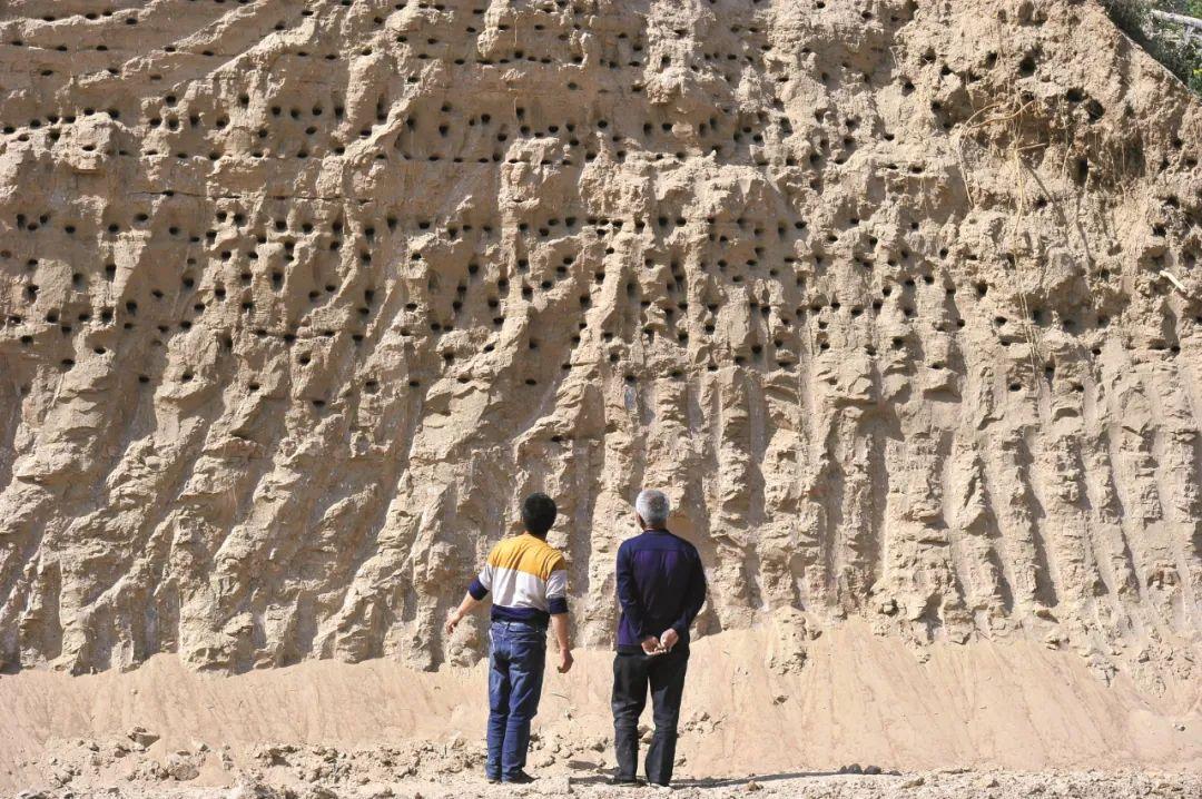 2017年4月22日,陕西西安市高陵区渭河畔上,两位市民旁观崖沙燕的窝。图/视觉中国