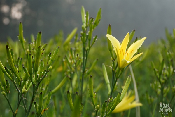"""△云州区是闻名全国的""""黄花之乡"""",每年7月前后进入盛产采摘季。"""