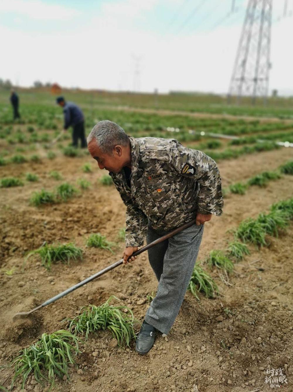 △云州区有机黄花标准化种植基地面积约1.68万亩,亩产新鲜黄花约3000余斤。(总台央视记者彭柏闳、钟锐拍摄)