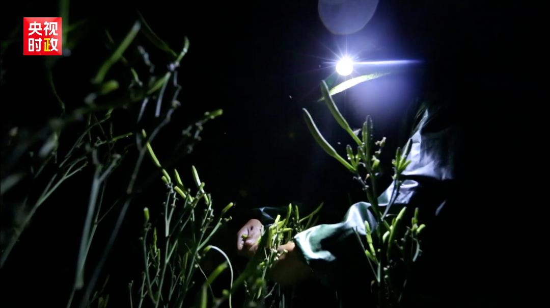 △Tips: 为什么黄花要深夜采摘?