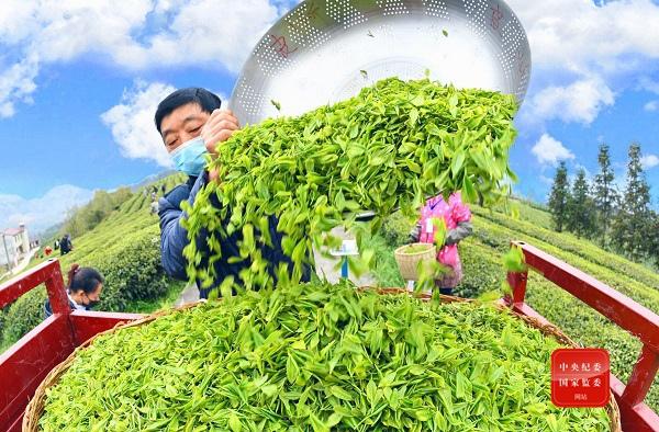 摩天注册头丨摩天注册绿水青山育好茶富图片