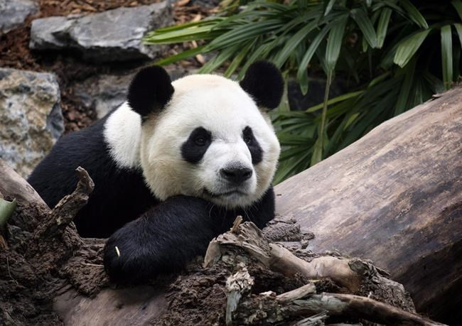 摩天注册:旅居加拿大的中国大熊摩天注册猫将全部回图片