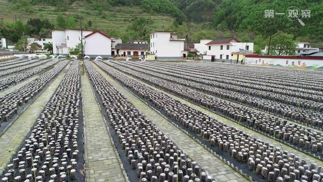 ↑这是2020年4月21日拍摄的柞水县小岭镇金米村的地栽木耳(无人机照片)。新华社记者 陈昌奇 摄