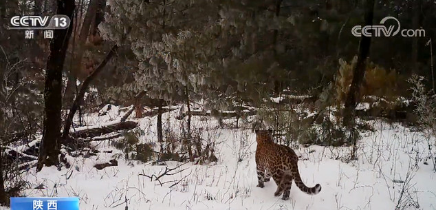 陕西大熊猫国家公园拍摄到金钱豹影像图片