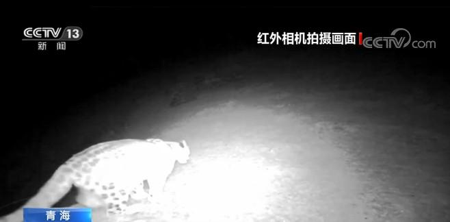 青海:摄影爱好者记录到雪豹活动影像图片
