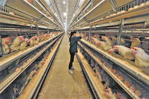 桂平市厚禄乡百万羽蛋鸡养殖基地