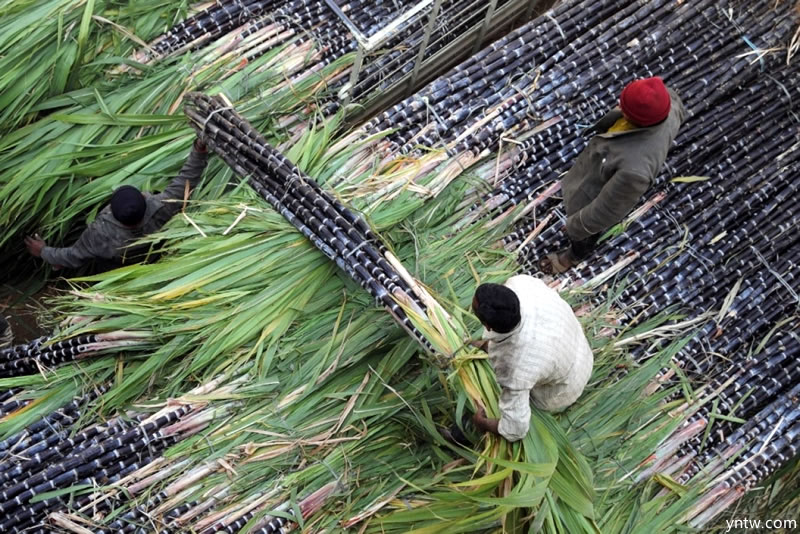 印度北方邦食糖产量创历史新高 但全国总产量下降