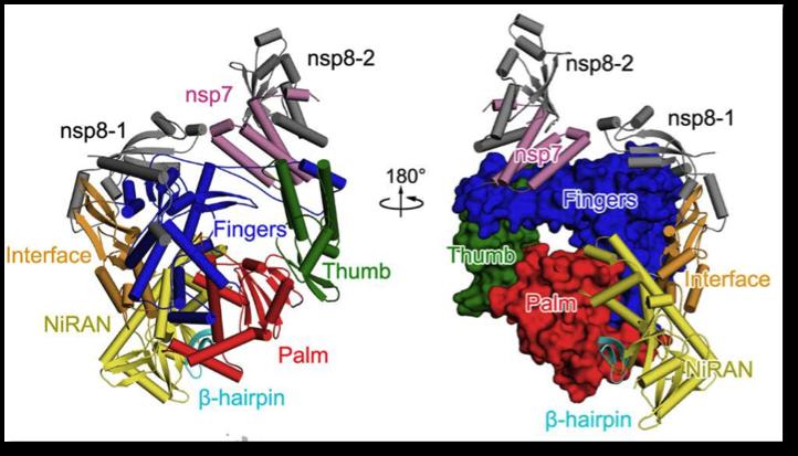 △新冠病毒RNA聚合酶与非布局卵白nsp7和nsp8形成复合体的三维布局