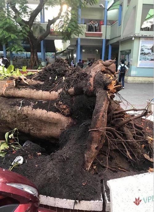△这棵倾倒的凤凰木在校内已有50余年栽种历史
