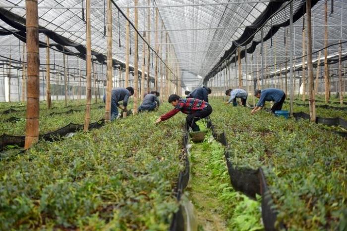 助农增收 临安铁皮石斛迎来采摘季
