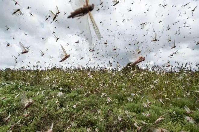 印度:蝗虫铺天盖地 棉田如临大敌