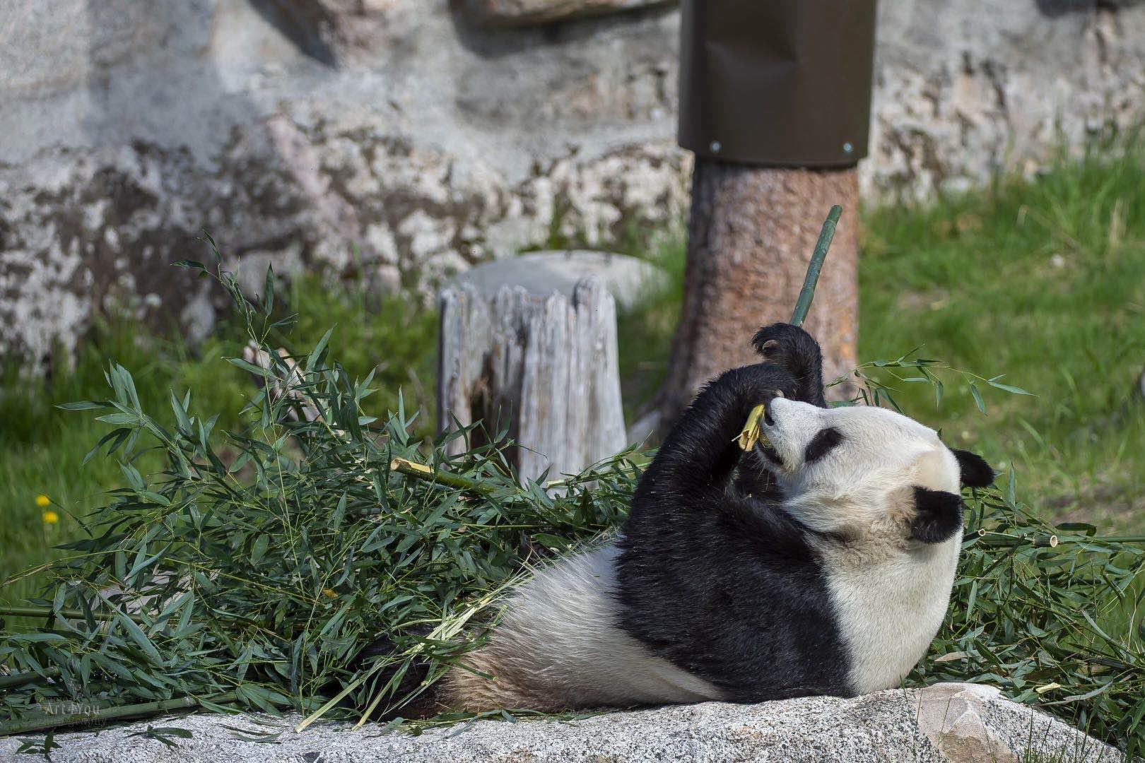 【摩天注册】竹子没有讨论送大熊猫摩天注册回图片