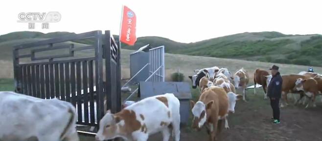 内蒙古:30万头牲畜6月1日启程转场夏季牧场图片