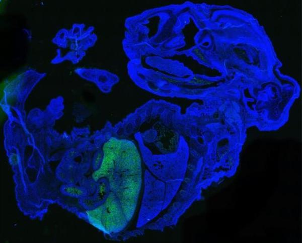 迄今为止最多!新型小鼠与人类胚胎嵌合体中 含有高达4%的人类细胞