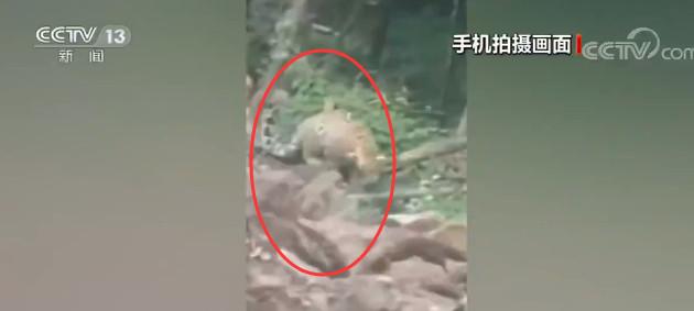 「赢咖3代理」江东京城林区赢咖3代理野生东北豹首现图片